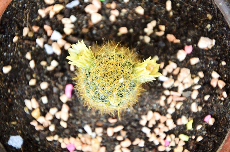 Der schöne grüne Kaktus und die blühenden Blumen lizenzfreie stockfotos