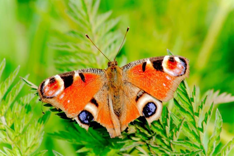 Der schöne Pfau-Schmetterling - Aglais Io - in einer britischen Wiese lizenzfreie stockfotos