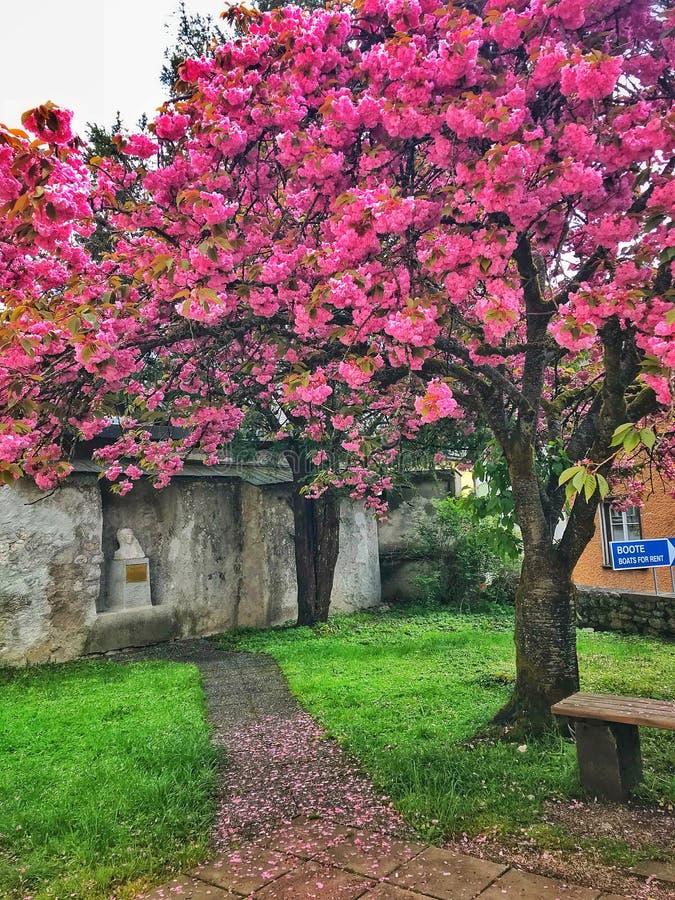 Der schöne rosa Baum, grünes Gras, wenn Österreich überrascht wird stockbilder
