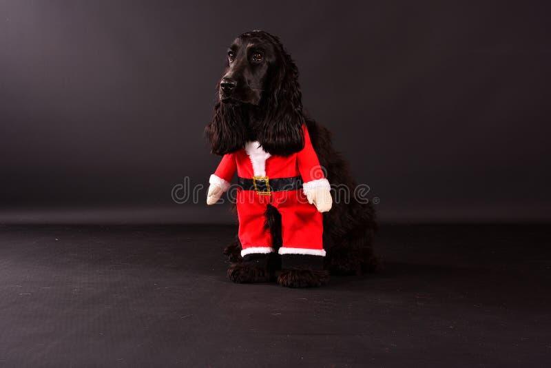 Der schöne schwarz-englische Cocker Spaniel sitzt im dunklen Atelier mit einer santa-Klausel-Tracht lizenzfreies stockfoto