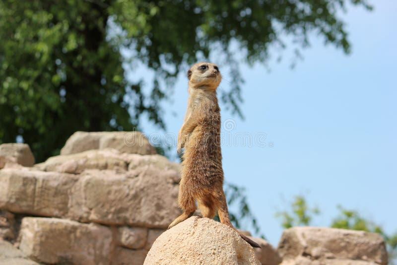 Der schöne Tiersuricata immer vorsichtig und vorsichtig stockfoto