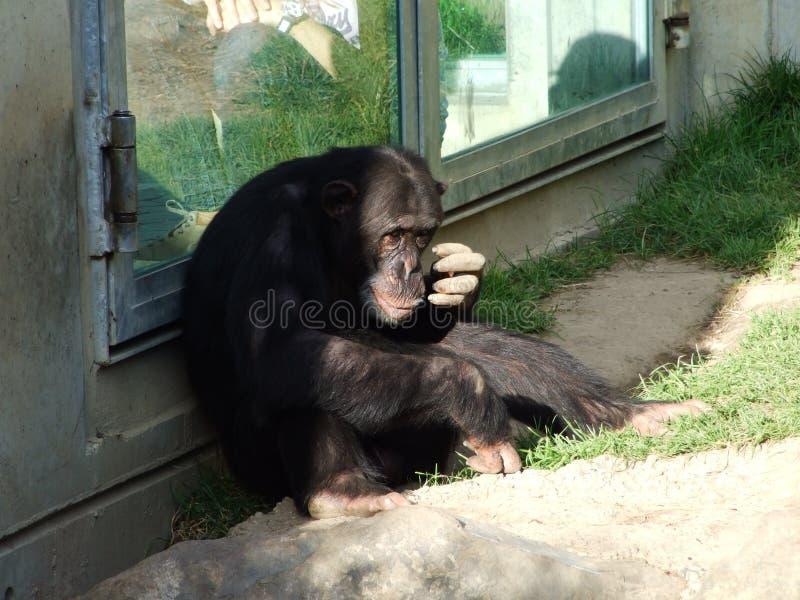 Οι παν τρωγλοδύτες χιμπατζών, επίσης ο κοινός χιμπατζής, γερός χιμπατζής, χιμπατζής ή Der Schimpanse, ζωολογικός κήπος Abenteurla στοκ εικόνα με δικαίωμα ελεύθερης χρήσης
