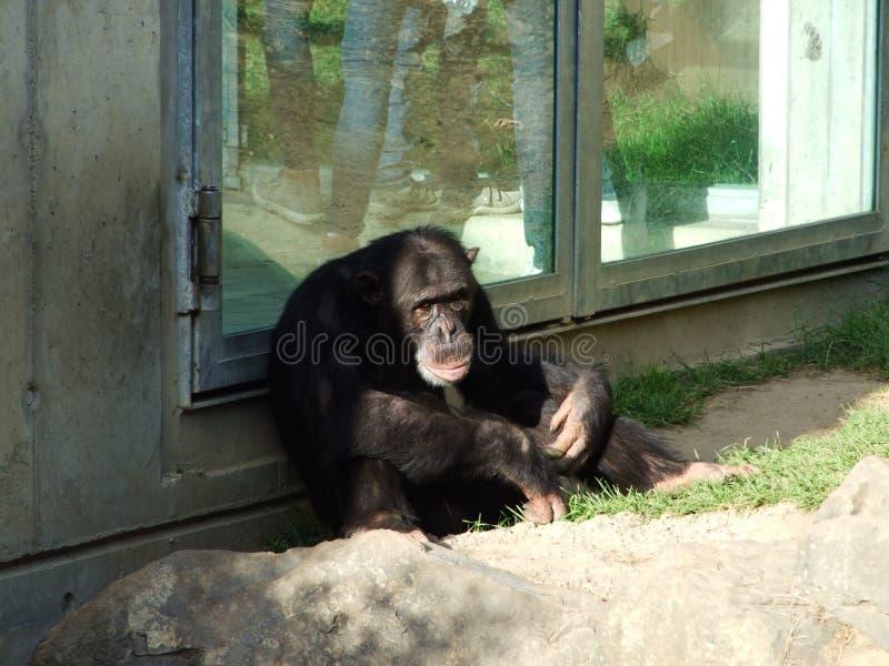 Οι παν τρωγλοδύτες χιμπατζών, επίσης ο κοινός χιμπατζής, γερός χιμπατζής, χιμπατζής ή Der Schimpanse, ζωολογικός κήπος Abenteurla στοκ φωτογραφίες με δικαίωμα ελεύθερης χρήσης