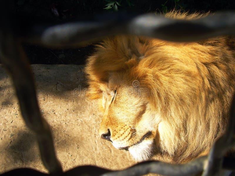 Der Schlafenlöwe in einem Zoo lizenzfreie stockbilder