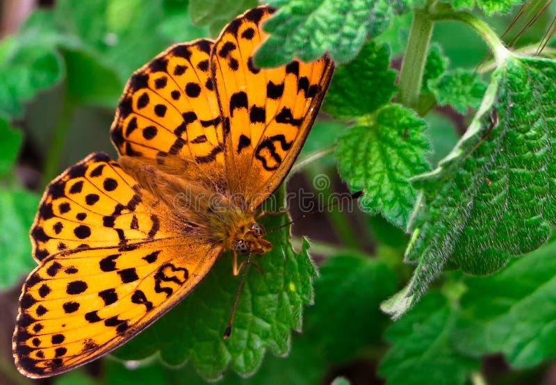 Der Schmetterling auf einem Blatt stockfotografie