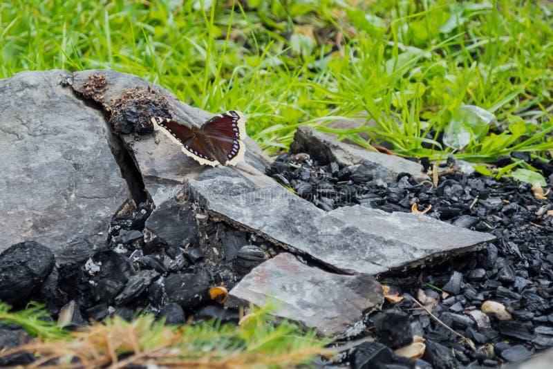 Der Schmetterling sitzt auf einem Stein, nahe den Kohlen, vor dem hintergrund des Feuers Das Konzept der Wiederbelebung der Natur lizenzfreies stockbild