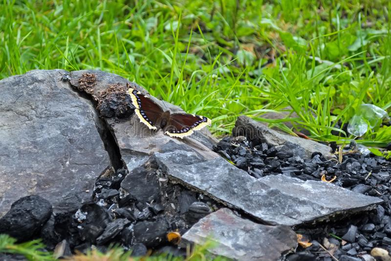 Der Schmetterling sitzt auf einem Stein, nahe den Kohlen, vor dem hintergrund des Feuers Das Konzept der Wiederbelebung der Natur stockbild