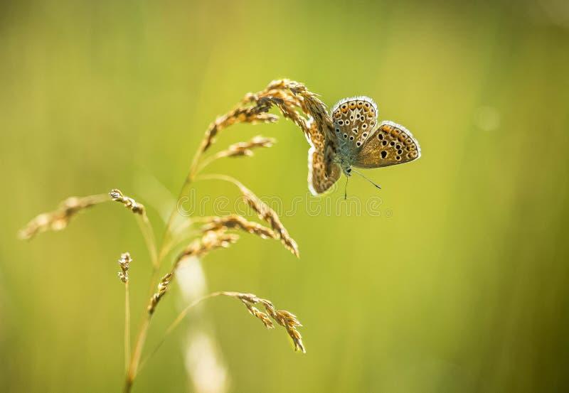 Der Schmetterling sitzt auf einer trockenen Anlage stockfotos