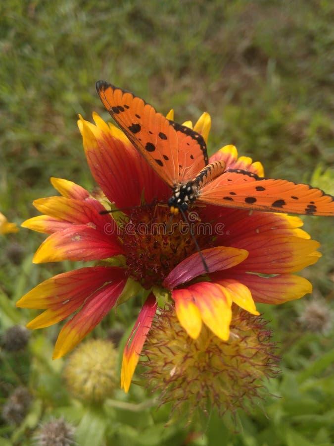 Der Schmetterling wählen Blütenstaub die Blume aus lizenzfreie stockfotografie
