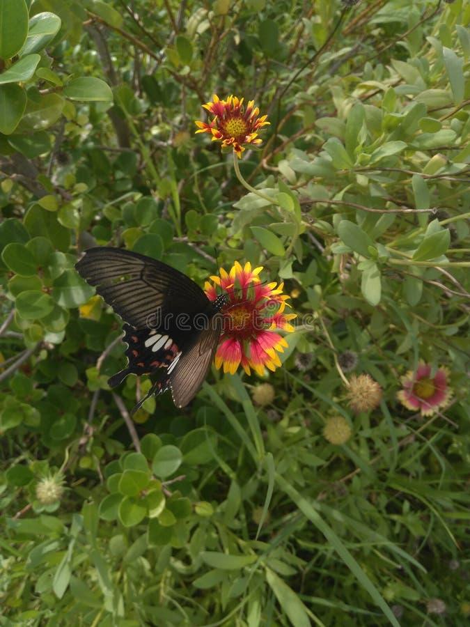 Der Schmetterling wählen Blütenstaub die Blume aus stockfoto
