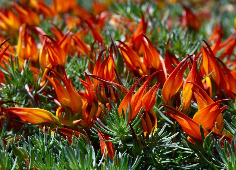 Der Schnabel Lotus-berthelotii Papageien, Pelikanschnabel, korallenroter Edelstein, Lotus-Rebbl?te ist eine mehrj?hrige Pflanze,  stockfotos
