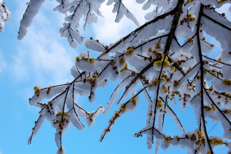 Der Schnee auf Wintersweet-Blume stockfoto