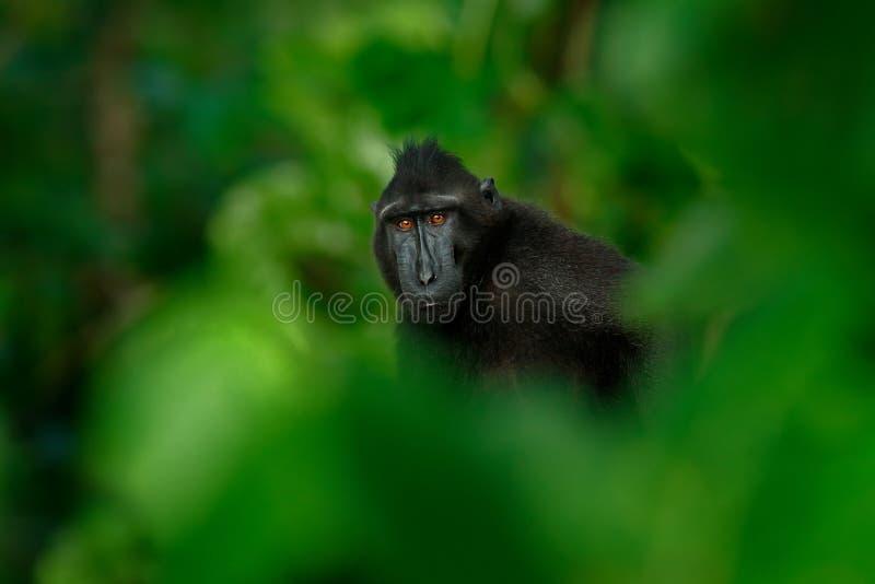 Der schwarze Affe, der in der grünen Vegetation, sitzend im Naturlebensraum, dunkler tropischer Wald Celebes versteckt wurde, erk lizenzfreies stockbild