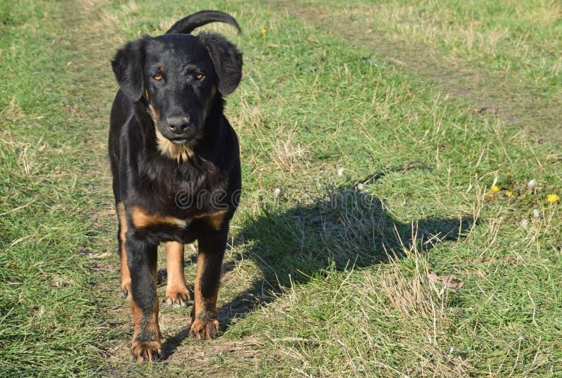 Der schwarze Hund der unbekannten Zucht stockbild