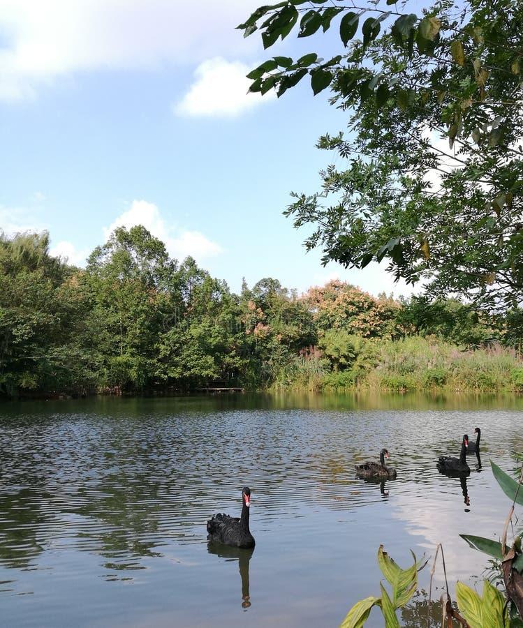 Der schwarze Schwan im See lizenzfreie stockfotografie