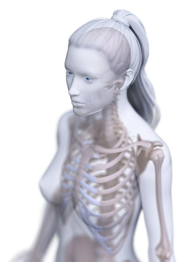 Der skelettartige Thorax einer Frau stock abbildung