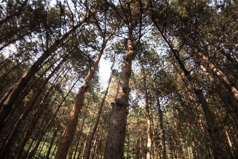 Der sonnige Tag Sch?ne Waldnatur Hohe alte Kiefer Sonniger Tag des Sommers lizenzfreies stockbild