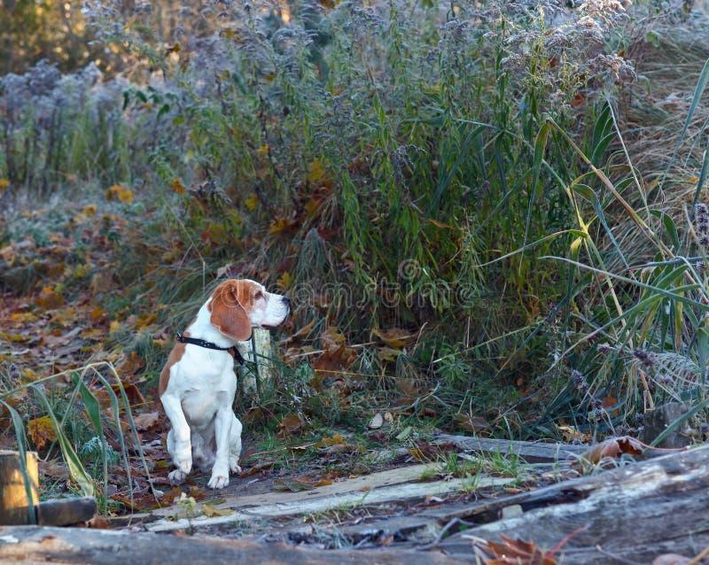 Der Spürhund am frühen Morgen, der im Wald jagt stockfoto