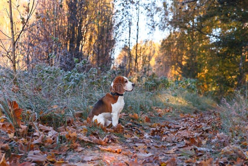 Der Spürhund am frühen Morgen, der im Wald jagt stockbilder