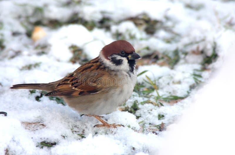 Der Spatz sitzt auf Schnee lizenzfreie stockfotografie