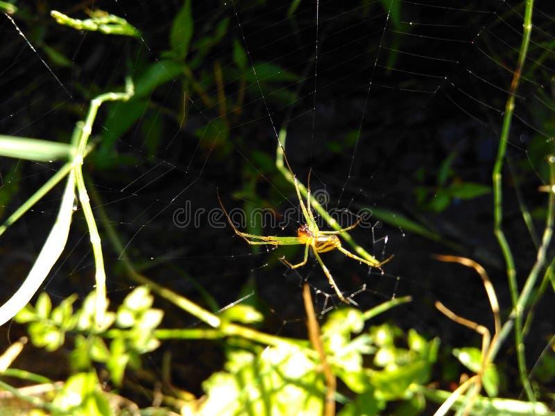 Der Spinnenjäger lizenzfreies stockfoto