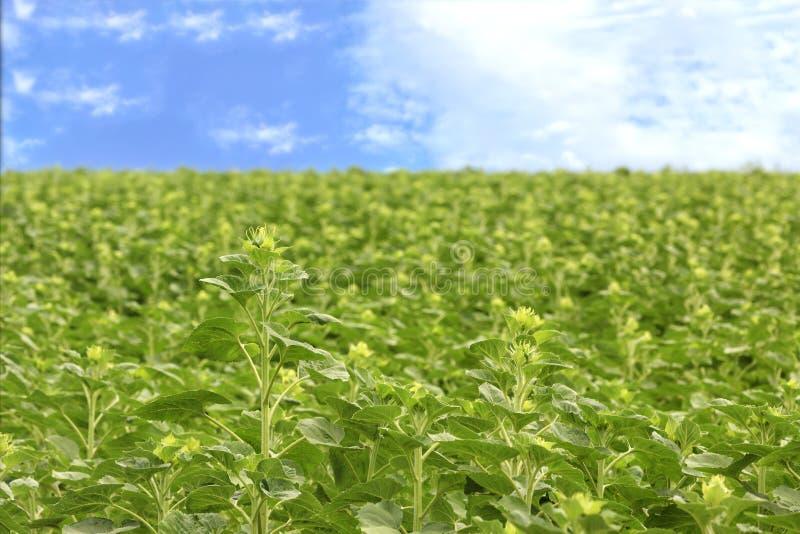 Der Stamm einer jungen Sonnenblume gegen ein grünes Feld und einen blauen Himmel stockfotografie