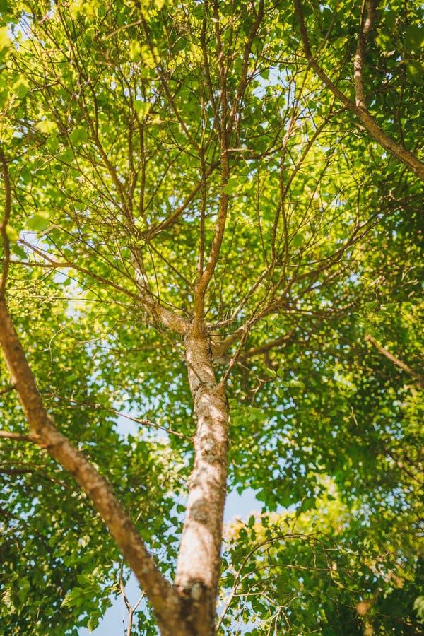 Der Stamm und die Blätter des Baums lizenzfreie stockfotos