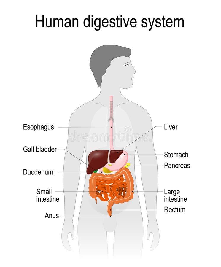 Der Standort des Verdauungssystems im menschlichen Körper vektor abbildung
