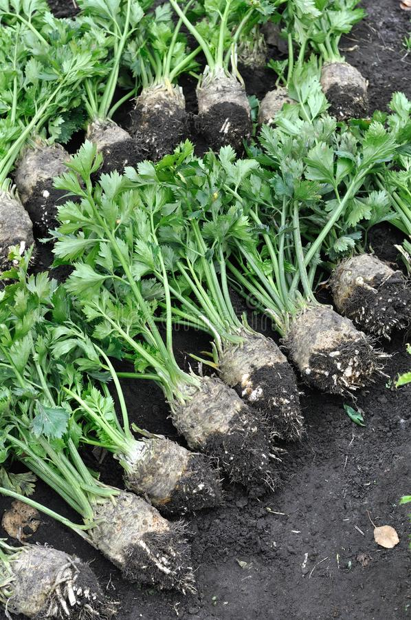 Der Stapel des kürzlich geernteten reifen SellerieWurzelgemüses im Gemüsegarten lizenzfreie stockfotos