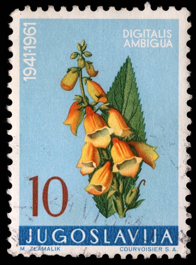 Der Stempel, der in Jugoslawien gedruckt wird, zeigt gelbe Fingerhut lizenzfreie stockfotos