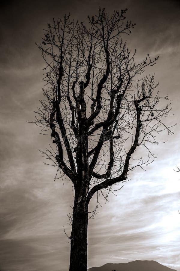 Der sterbende Baum stockbild
