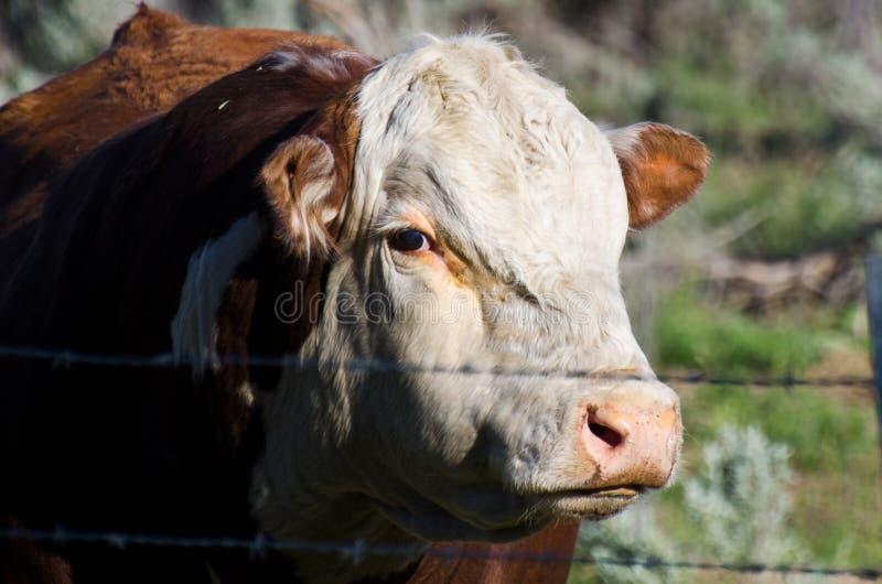Der Stier und der böse Blick stockfotos