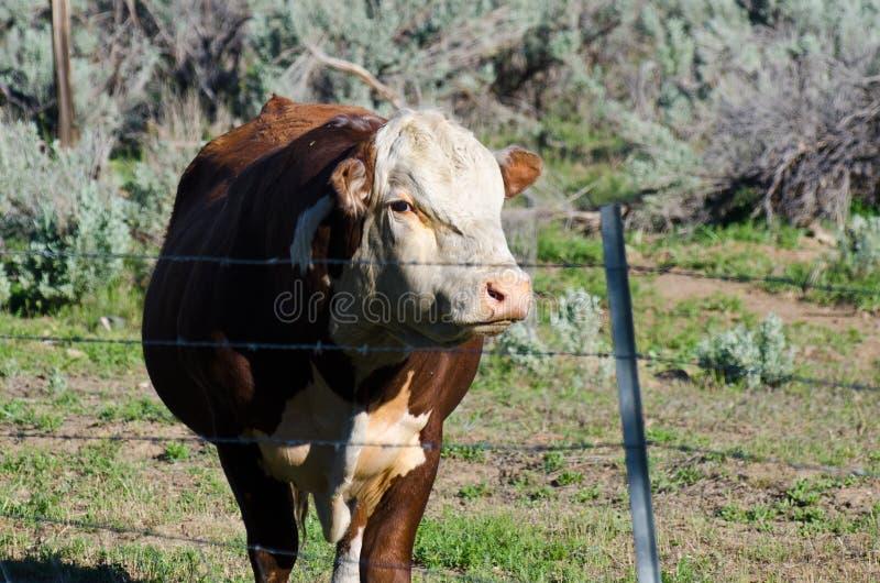 Der Stier und der böse Blick lizenzfreie stockfotografie