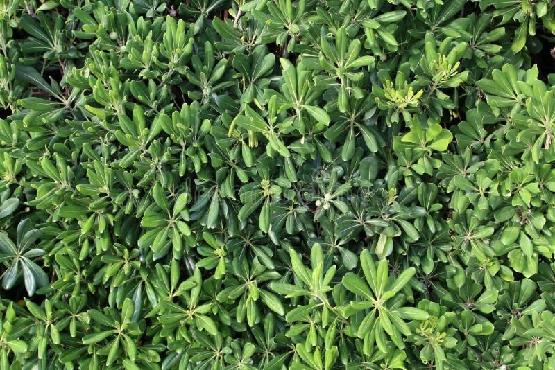 Der Strauch mit immergrünen Laubaufschlägen als Zaun lizenzfreie stockfotografie