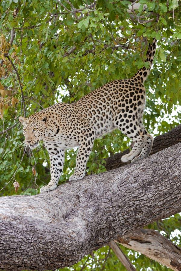 Der Tapete Leopard online -, der unten vom Baum kommt lizenzfreie stockfotos