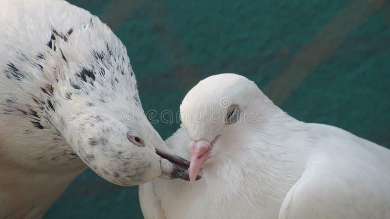 der Taubenvogel, der mit den Schnäbeln küsst, lieben Paarneigungs-Sorgfalt Romance stockfotos