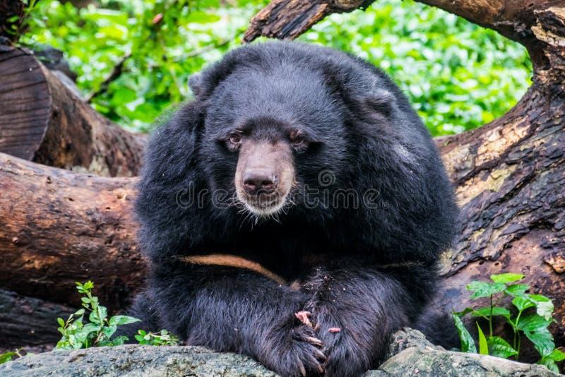 Der tibetanische schwarze Bär im thailändischen Zoo lizenzfreies stockbild