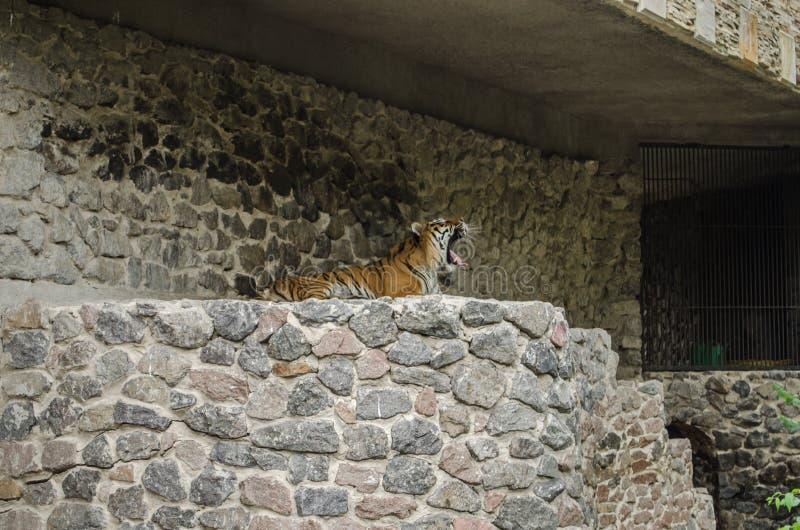Der Tiger gähnt in einem Stift auf dem Hintergrund einer Steinwand am Zoo in Kiew lizenzfreies stockfoto