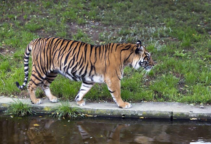 Der Tiger, der nah oben am sonnigen Tag geht lizenzfreie stockfotos