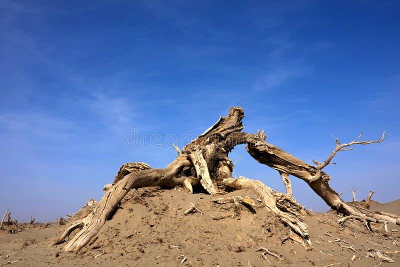 Der Tod von Populus euphratica Wald, mit blauem Himmel lizenzfreie stockfotos
