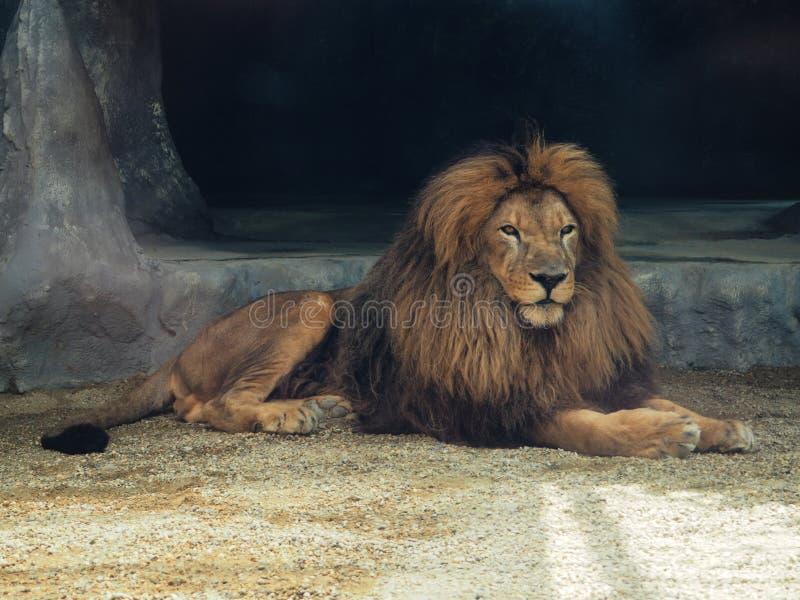 Der träumerische Blick eines Löwes im Zoo Der K?nig von Tieren, gr??te Katze der Welt Der gefährlichste und mächtigste Fleischfre lizenzfreie stockfotos