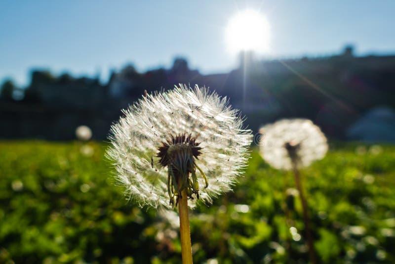 Der trockene Löwenzahn, der durch die Sonne auf einer grünen Wiese am sonnigen Morgen in Kalemegdan hintergrundbeleuchtet ist, pa lizenzfreie stockfotos