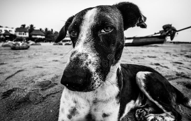 Der verärgerte Hund am Ruhe-Strand nahe Pondicherry lizenzfreies stockfoto