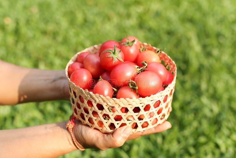 Der Verfasser, der frische organische Tomaten handcraft hält herein, Korb stockfotos
