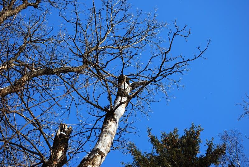 Der verzweigte alte trockene Baum, der auf die Oberseite vor dem hintergrund des blauen Himmels abgebrochen wird stockbild