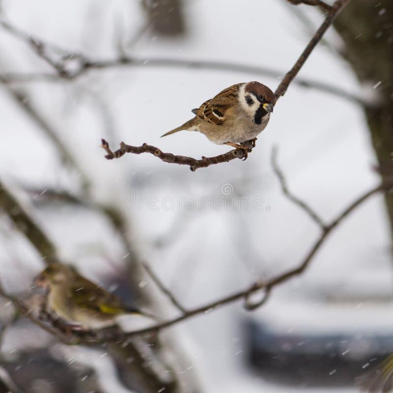 Der Vogel, den ein Spatz auf Ebereschenniederlassung vor dem hintergrund der Fliegenschneeflocken sitzt lizenzfreie stockfotos