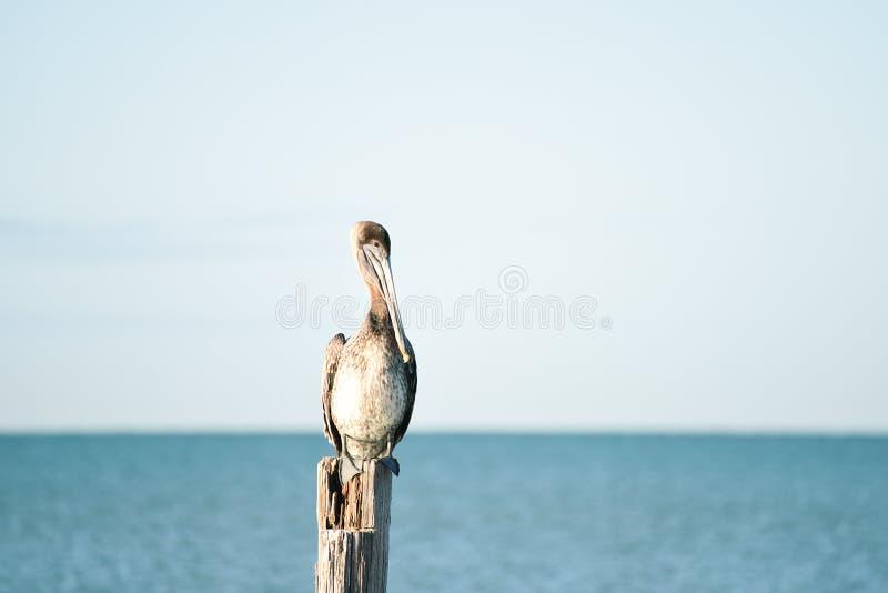 Der Vogelpelikan sitzt auf einer alten hölzernen Spalte Ruhiger Morgen auf den Ufern des Atlantiks florida USA lizenzfreie stockbilder