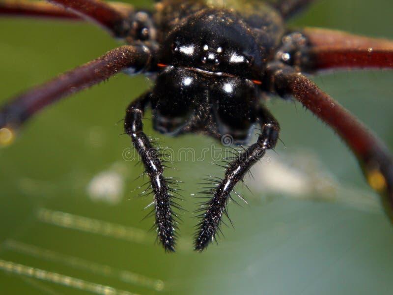 Der vordere Hauptschuß von riesigen hölzernen Spinne Nephila-pilipes/von riesiger goldener Kugel lizenzfreie stockbilder