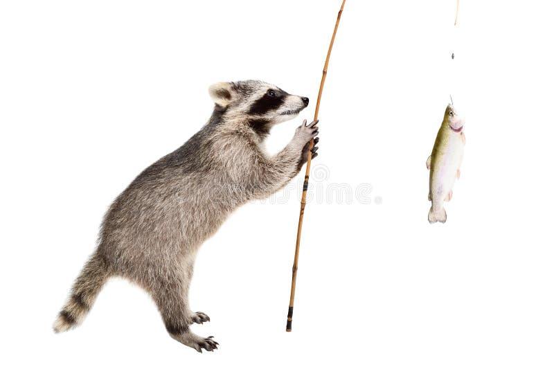 Der Waschbär, der mit einer Forelle steht, fing auf einer Angelrute stockfotos