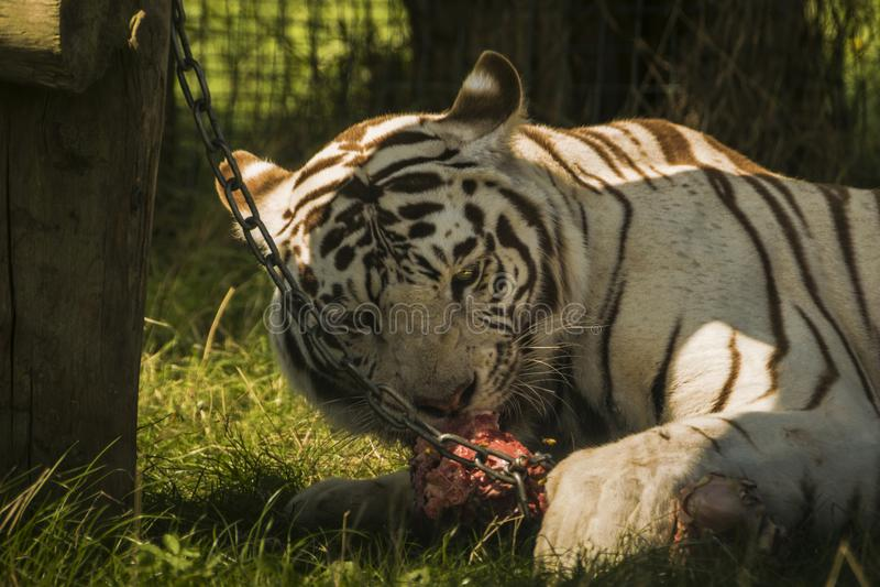 Der weiße Löwe, der Fleisch mit seinen Augen isst, öffnen sich stockfoto